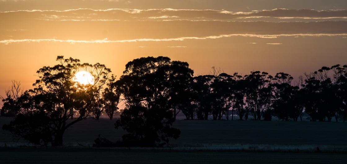 Sunrise behind Eucalyptus trees